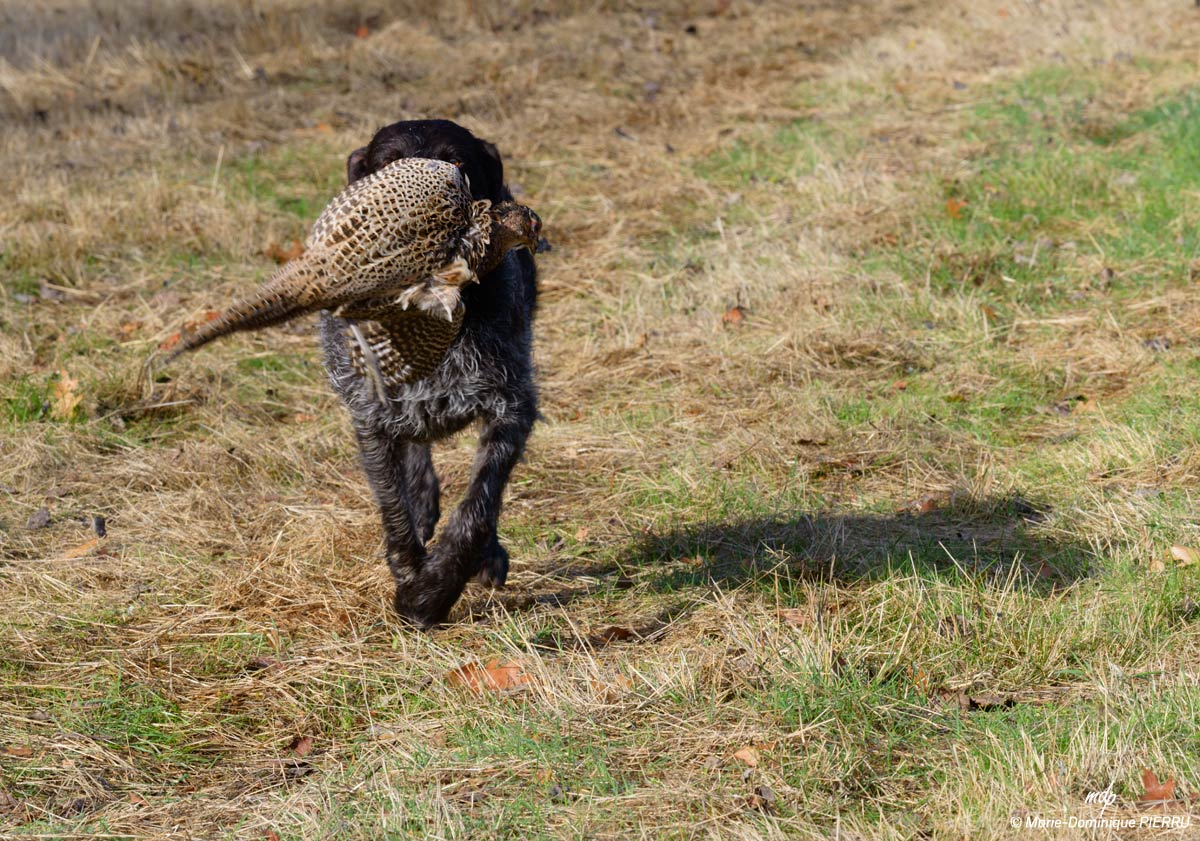 Chasse-chien-2