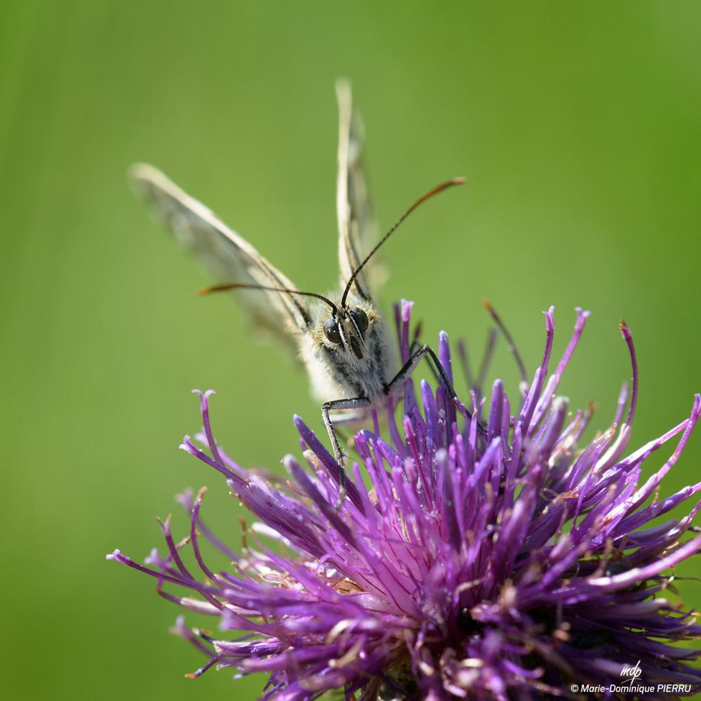 Papillon-demi-deuil_2
