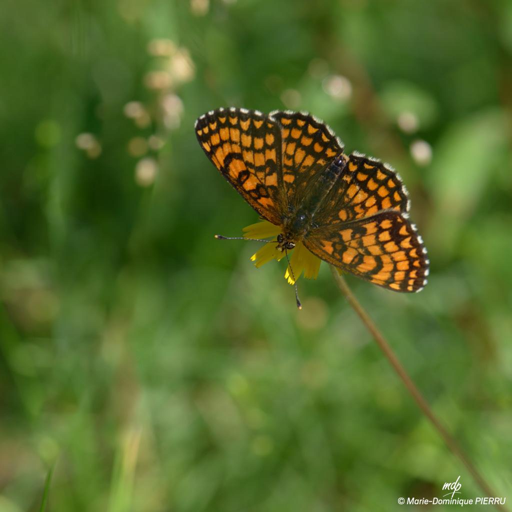 Papillon-melitee-2