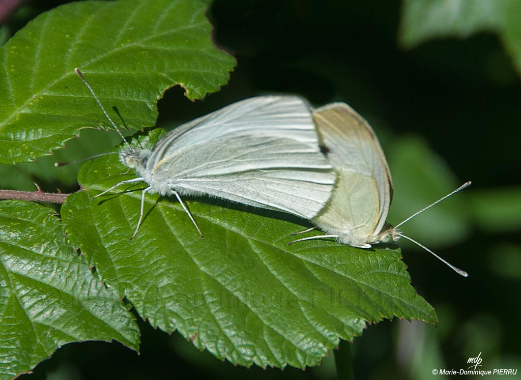 Papillons_copulant