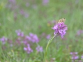 Papillon-orchidee-quercy