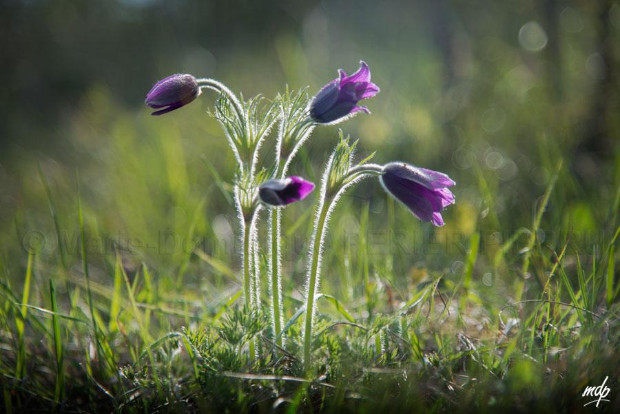 anemones-pulsatilles_6