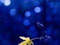 Feuille-or-&-bleu