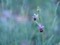 Orphrys-abeille_1