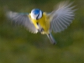 mesange-bleue-vol-flou-pastel_1