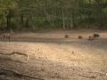 cerf-et-sangliers
