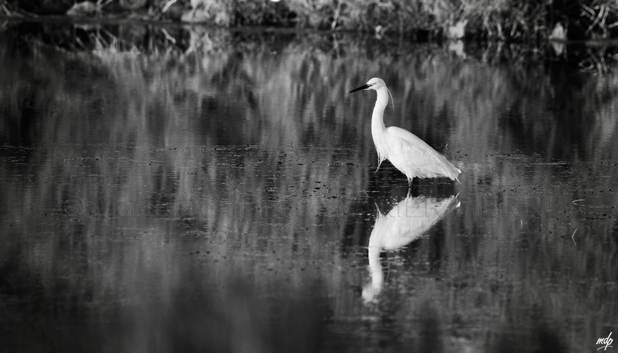 Aigrette-n&b_
