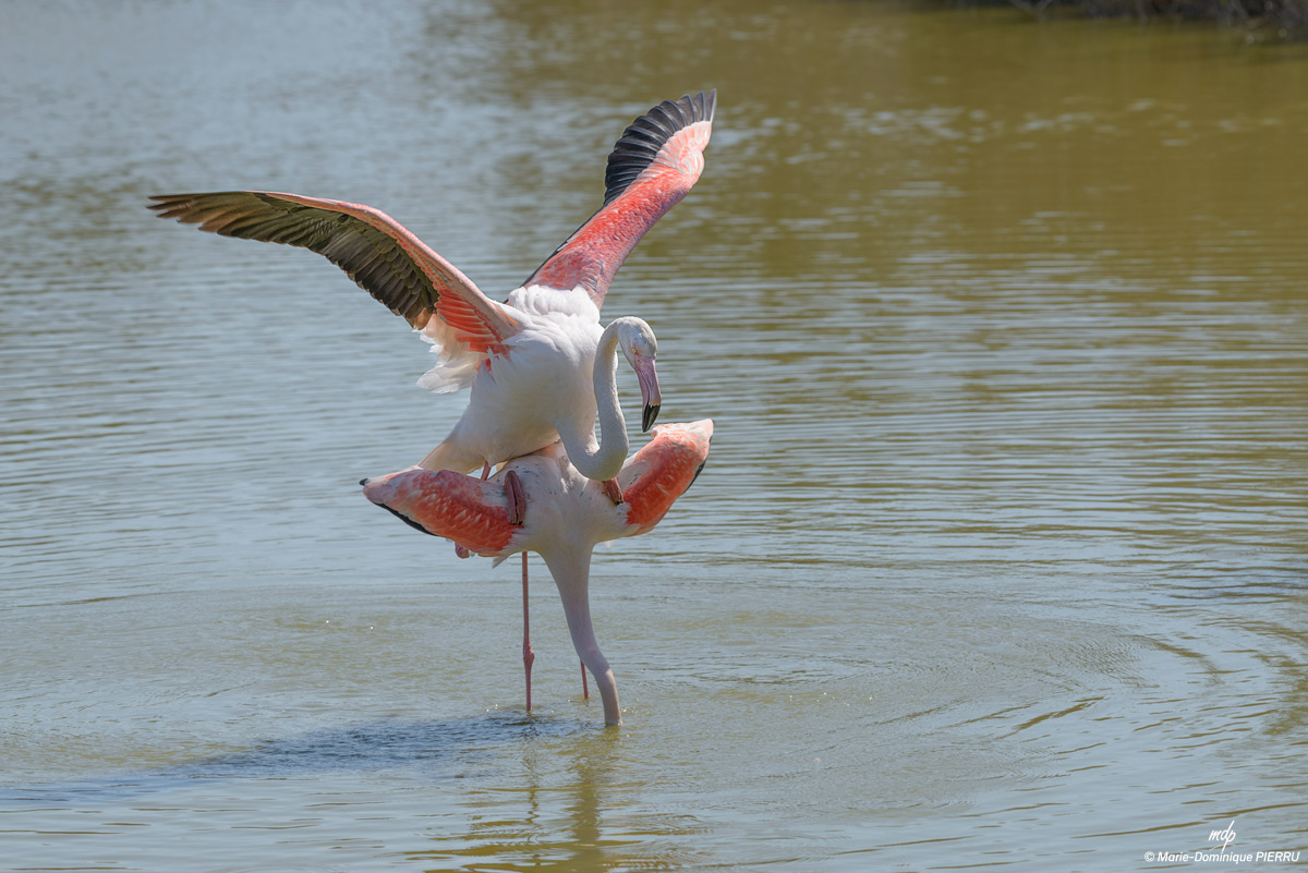 Flamants-roses_2019-A