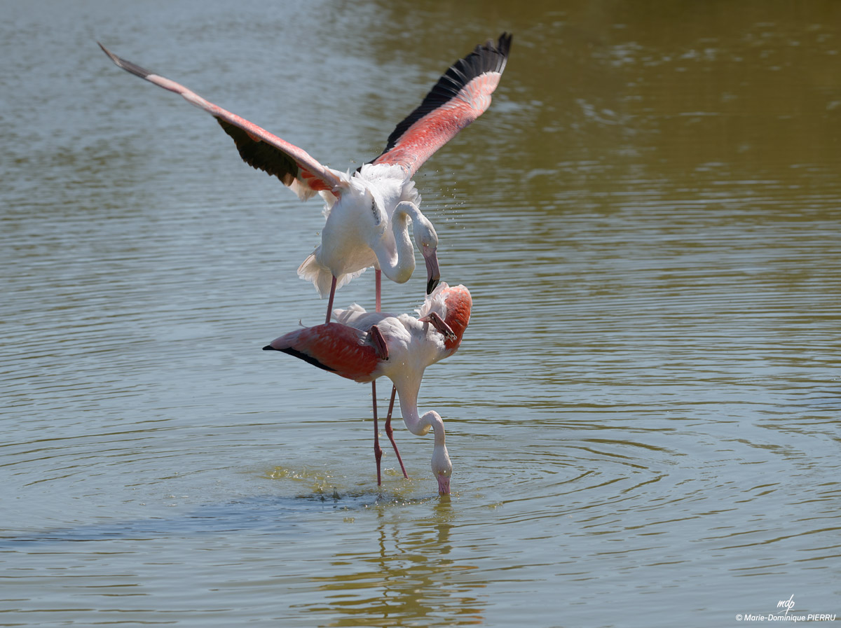 Flamants-roses_2019-B