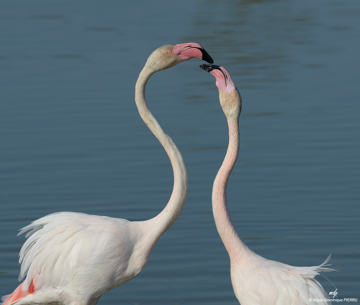 Flamants-roses_2019-C