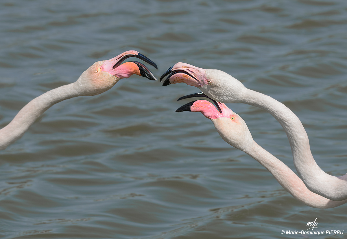 Flamants-roses_2019-G
