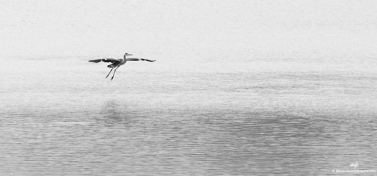 Heron-cendre-nb