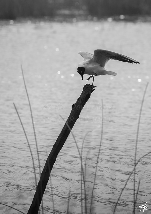 Mouette-rieuse