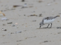 Becasseau-sanderling_2