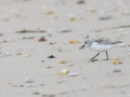 Becasseau-sanderling_3