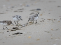 Becasseaux-sanderlings_1