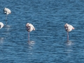 Flamants-roses-repos