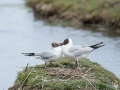 Teich-mouette-rieuses-1