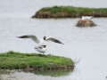 Teich-mouette-rieuses-2