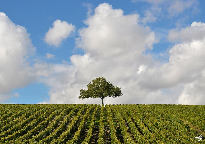 Sancerrois-arbre