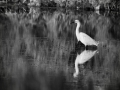Aigrette-nb_