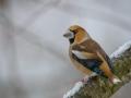 Grosbec-male-neige